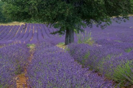 Christoph Kunze, Lavendel - Plateau de Albion, Provence